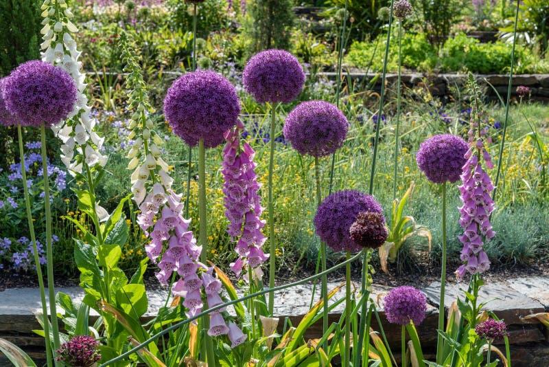 Härliga blommande allium- och digitalisblommor på en botanisk trädgård i Durham, North Carolina royaltyfri bild