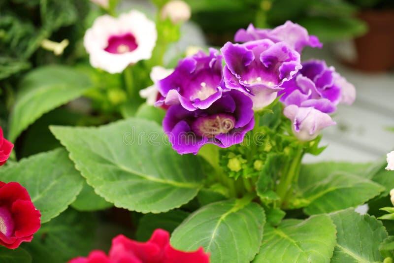 Härliga blommande primulablommor, closeup royaltyfri fotografi