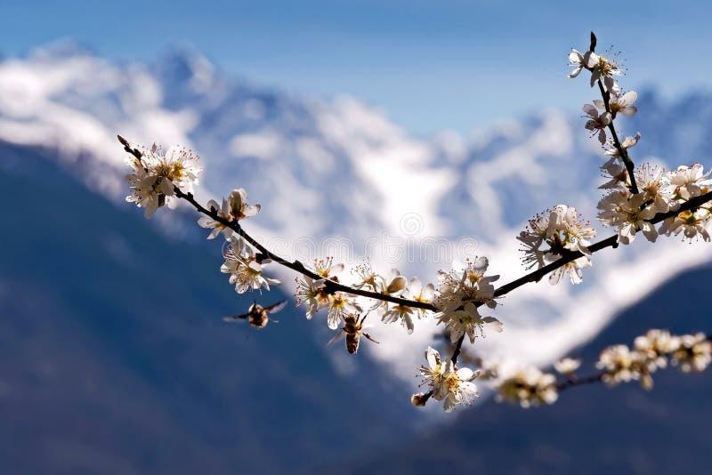 Härliga blommande sakura Bin och Sakura stångbin gör ren ramnectararbete Körsbärsröd blomning I Japan symboliserar sakuraen molne arkivbilder