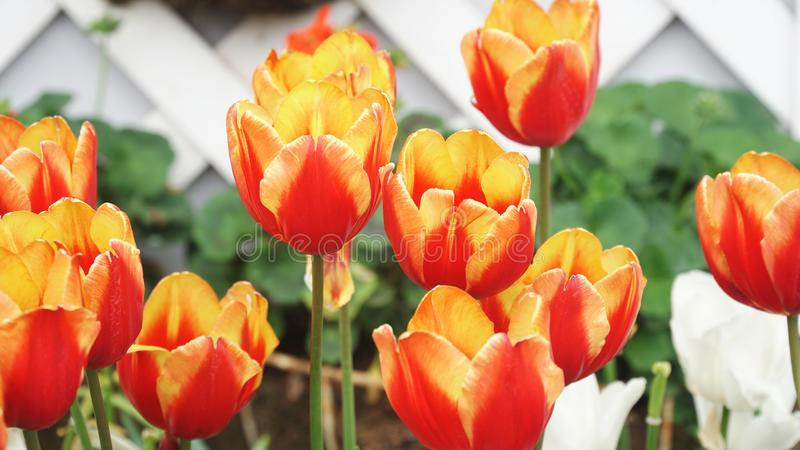 Härliga blommande tulpan har morotsfärgad färg royaltyfria foton