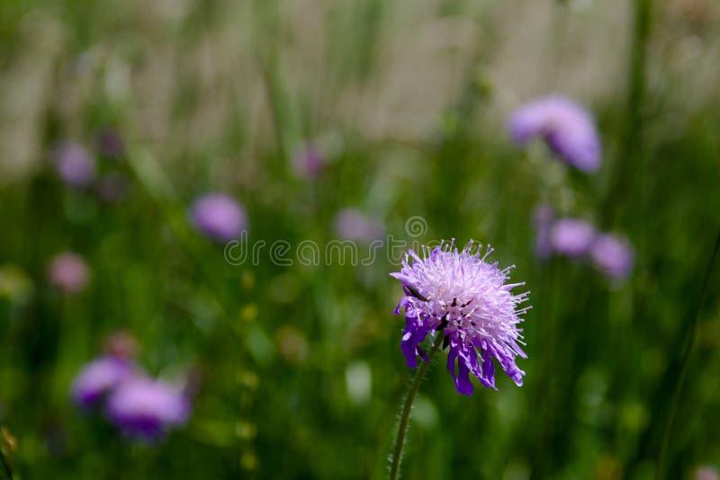 Härliga blommande violetta blommor i fält arkivfoton