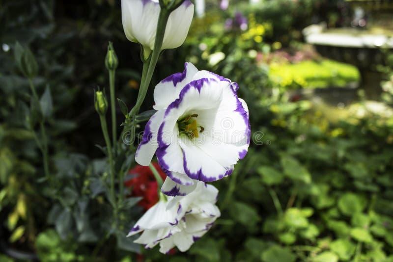 Härliga blommor är purpurfärgade med det vita fransträdet arkivfoton