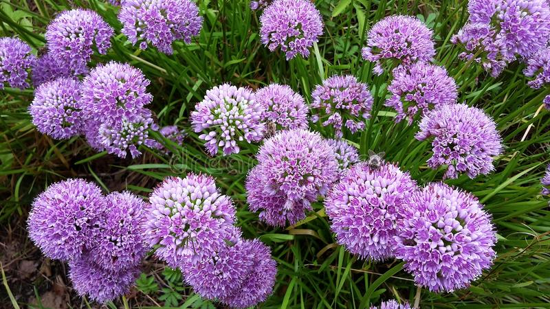 Härliga blommor, Alliummillenium arkivbild