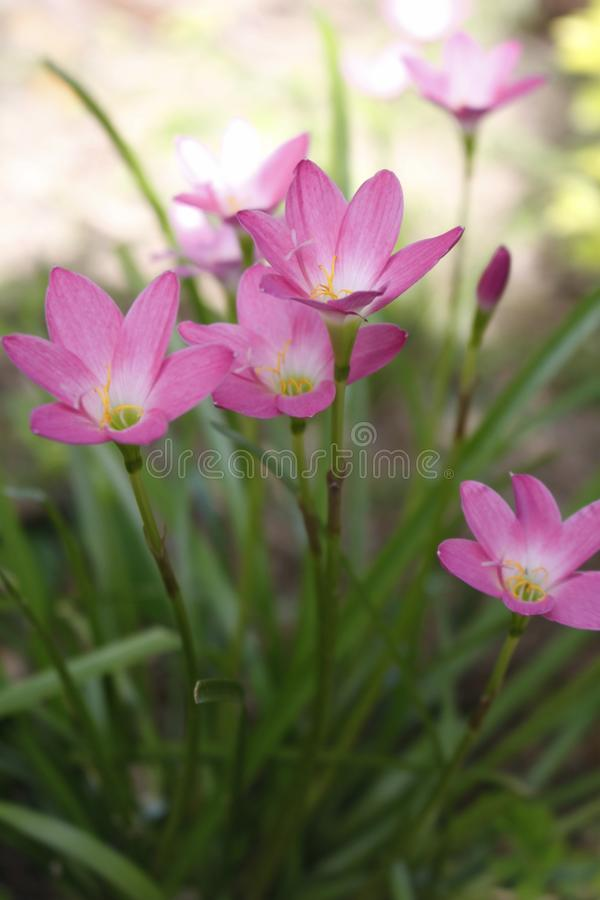härliga blommor arbeta i trädgården pink Regnlilja royaltyfria foton