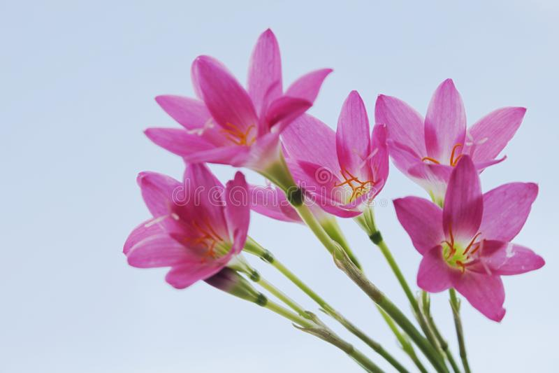 härliga blommor arbeta i trädgården pink Regnlilja fotografering för bildbyråer