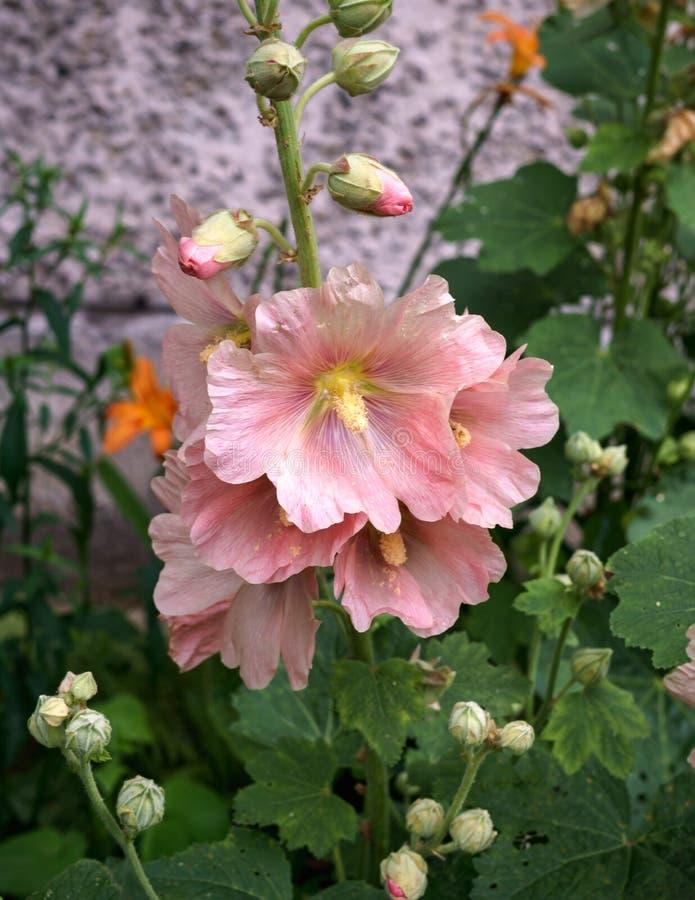 Härliga blommor av den rosa malvan med den gula pistillen royaltyfria bilder