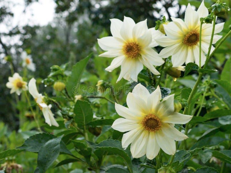 Härliga blommor av det vita dahliaslutet upp royaltyfri foto