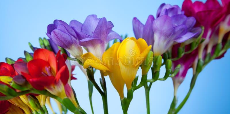 Härliga blommor av freesia royaltyfri fotografi