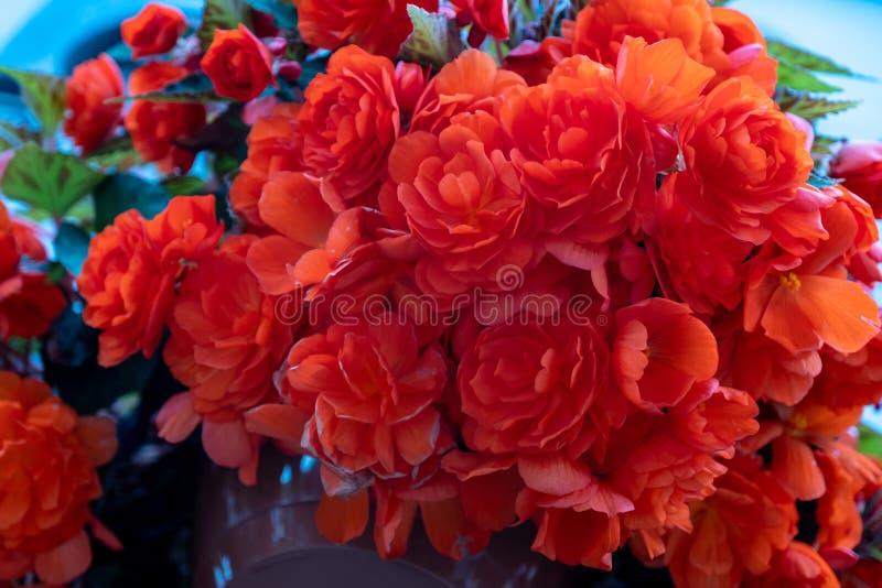 Härliga blommor av pelargonian i en kruka - pelargoniavariationsclatterbridge royaltyfria bilder