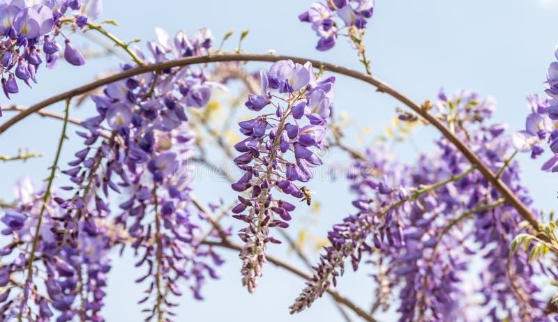 Härliga blommor av purpurfärgat blomma för Wisteriasinensis och blomningträdet med bakgrundsslut för blå himmel upp selektiv foku arkivbilder