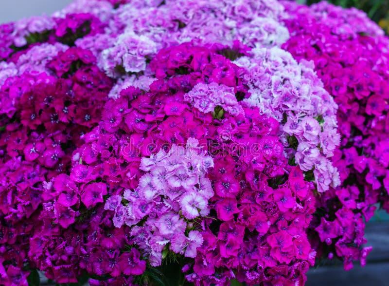 Härliga blommor av studentnejlikor i en enorm bukett fotografering för bildbyråer
