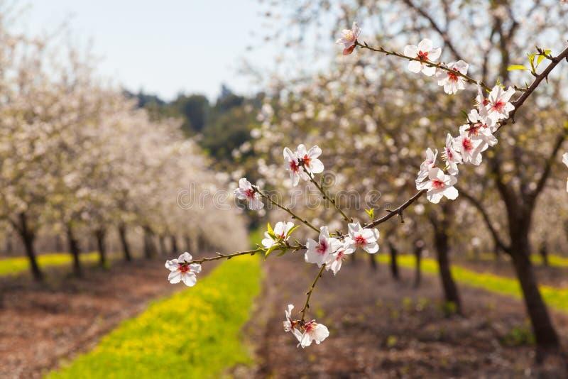 Härliga blommor för mandelträd på våren royaltyfria bilder