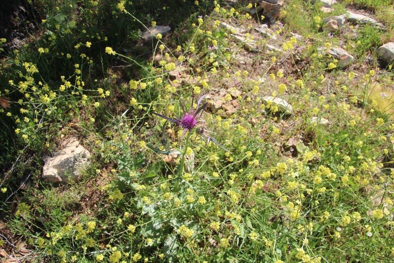 Härliga blommor i Israel Mount Gilboa Carmel royaltyfri bild
