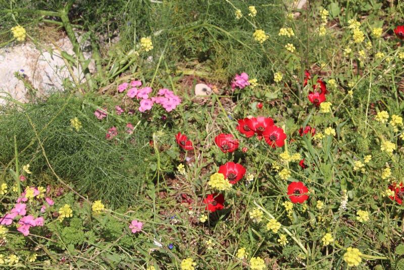 Härliga blommor i Israel Mount Gilboa Carmel fotografering för bildbyråer