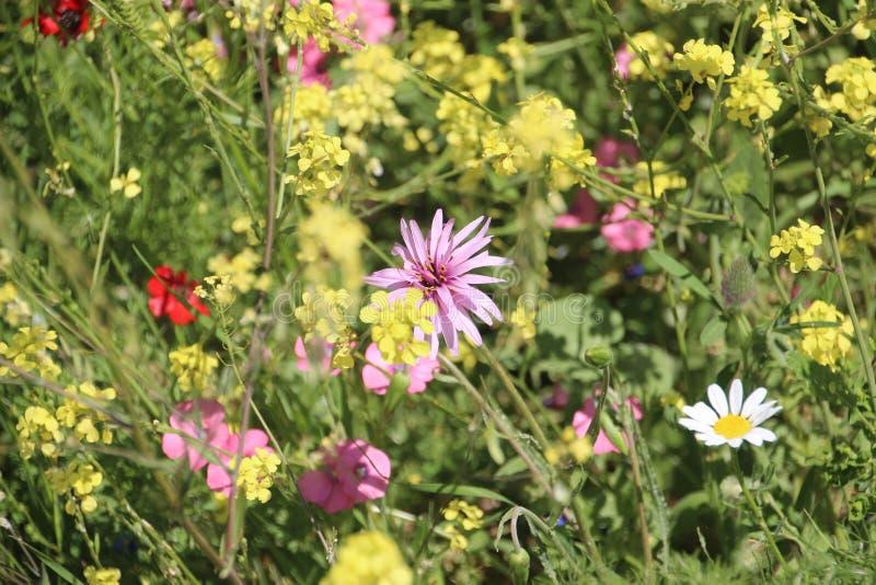Härliga blommor i Israel Mount Gilboa Carmel arkivbild