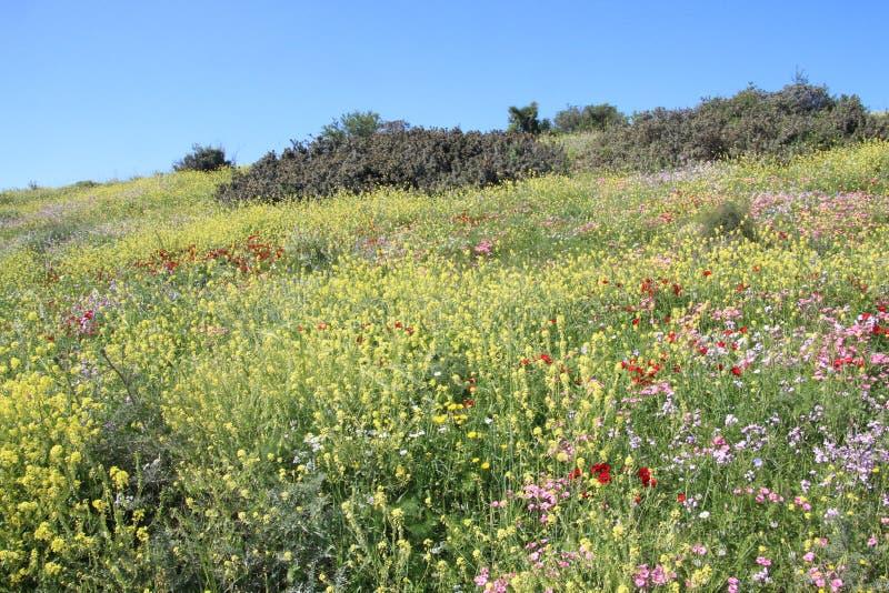Härliga blommor i Israel Mount Gilboa Carmel arkivfoton