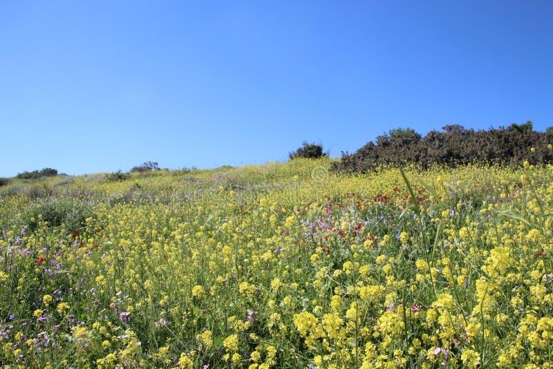 Härliga blommor i Israel Mount Gilboa Carmel royaltyfria foton