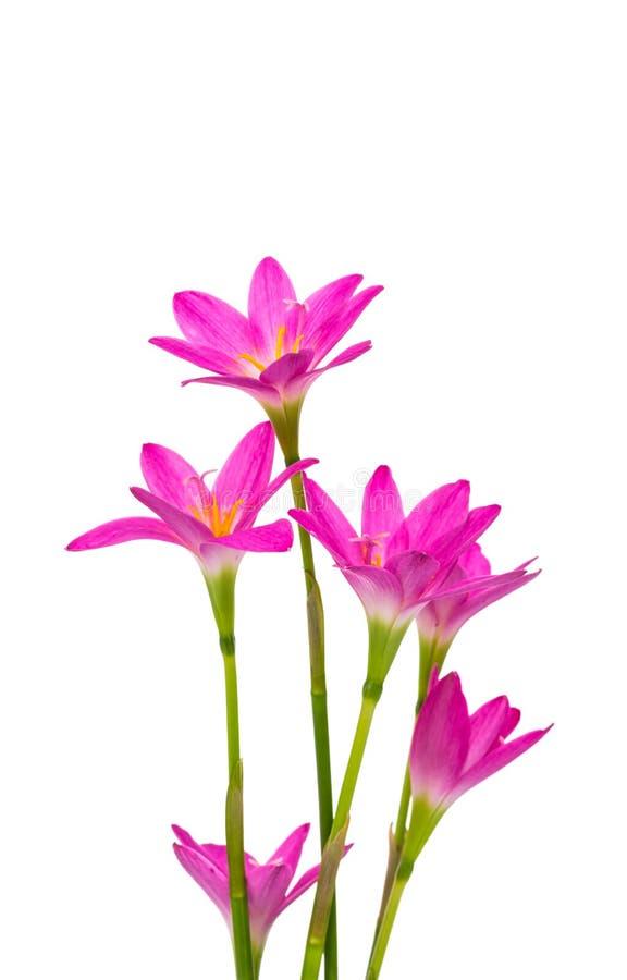 härliga blommor isolerade pink arkivfoto