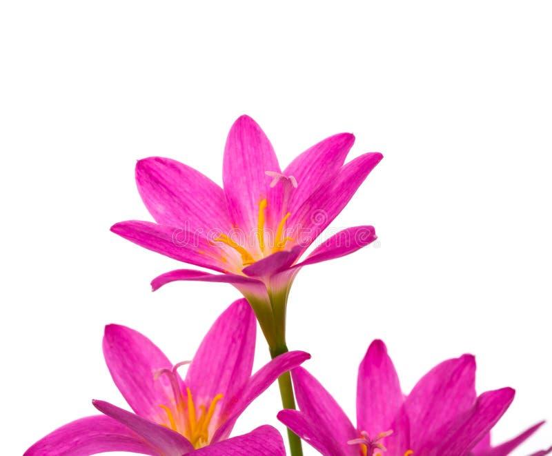 härliga blommor isolerade pink royaltyfri bild