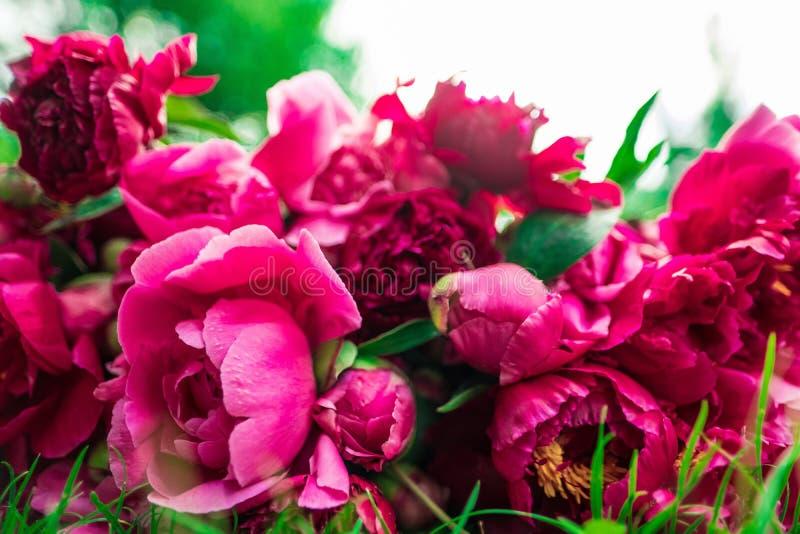 Härliga blommor, pioner Bukett av rosa pionbakgrund arkivbilder