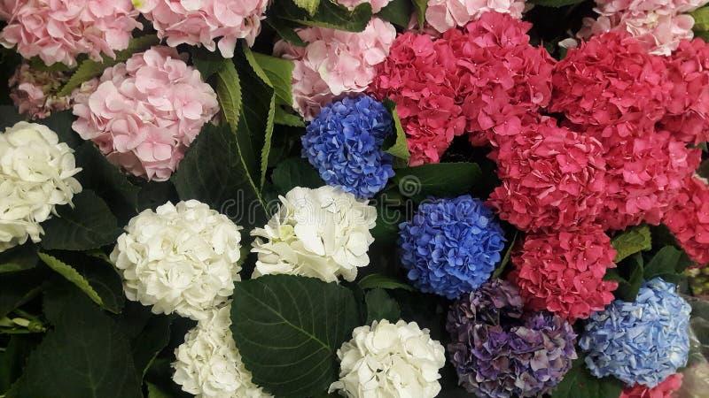 Härliga blommor - vanlig hortensia royaltyfri foto