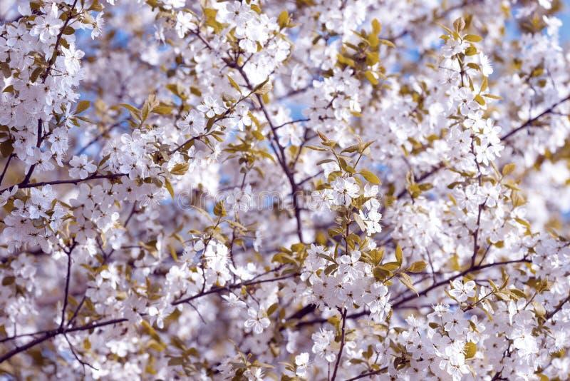 Härliga blomningplommonträd bakgrund med att blomma blommar i vårdag arkivfoton
