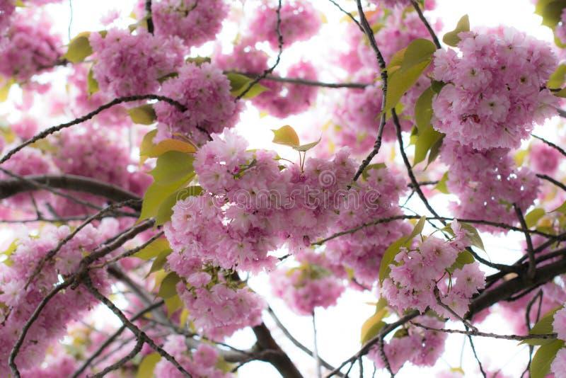 härliga blomningträd fotografering för bildbyråer