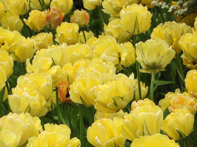 Härliga blomstra gula tulpanhuvud arkivfoto