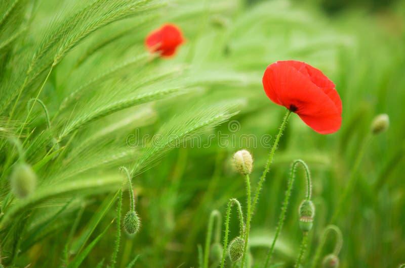 härliga blomstra vallmopiggar arkivfoto