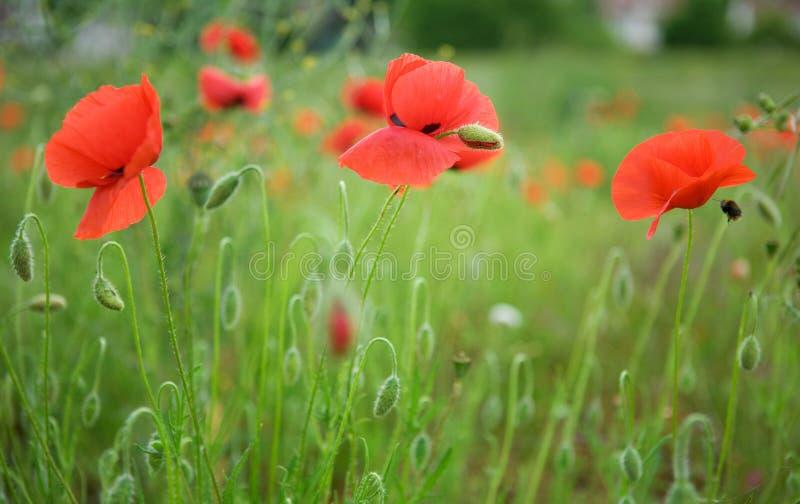 härliga blomstra vallmor arkivfoto