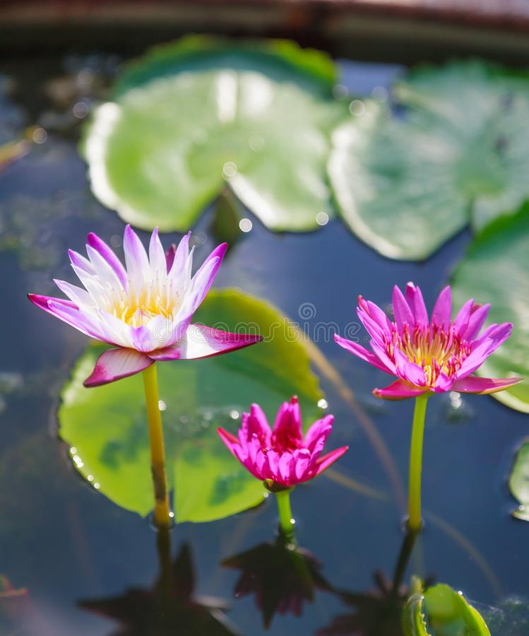 Härliga blomstra vatten- vita och purpurfärgade näckroslotusblommablommor i grön dammbakgrund Natur naturlig växt, flora, arkivfoto