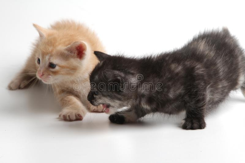 Härliga bruna och svarta kattungar på en vit bakgrund royaltyfri fotografi