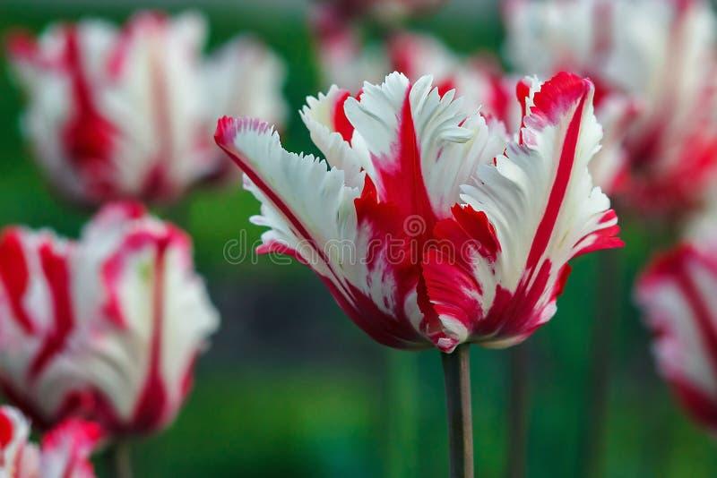 härliga buketttulpan färgrik vit och röda tulpan Tulpan i vårsol Tulpan i sätta in royaltyfri foto