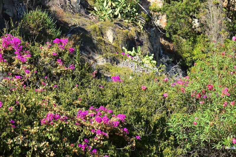 Härliga Bush med rosa färger blommar på bergssidan royaltyfria bilder