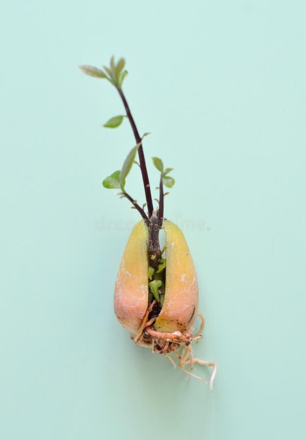 Härliga buskar av den blommaAstilbesprouted avokadot kärnar ur isolerat på mintkaramellbakgrund arkivfoton