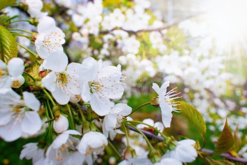 Härliga Cherry Tree Blossoms i solen royaltyfri bild