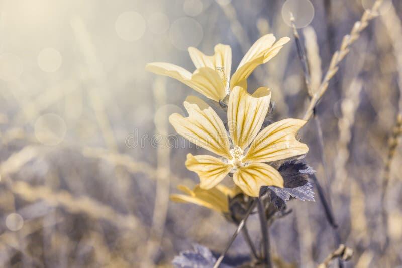 Härliga cichoriumintybusblommor på löst fält för n i solnedgångljuscloseup Blomma av l?s cikoriaendiv Mjuk fokusnatur royaltyfri fotografi