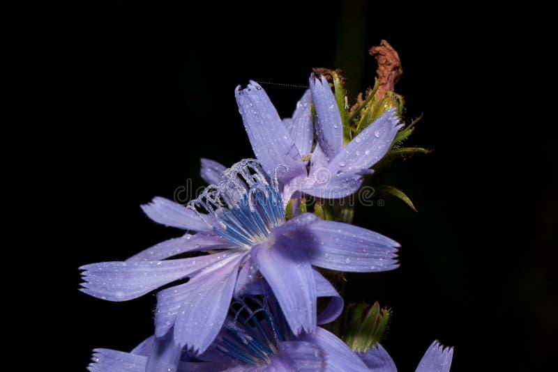 Härliga cikoriablommor växer på en grön äng Levande natur royaltyfri fotografi