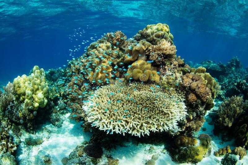 Härliga Coral Reef i Alor, Indonesien arkivfoton