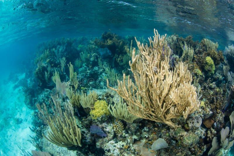 Härliga Coral Reef på kanten av blåtthålet, Belize fotografering för bildbyråer