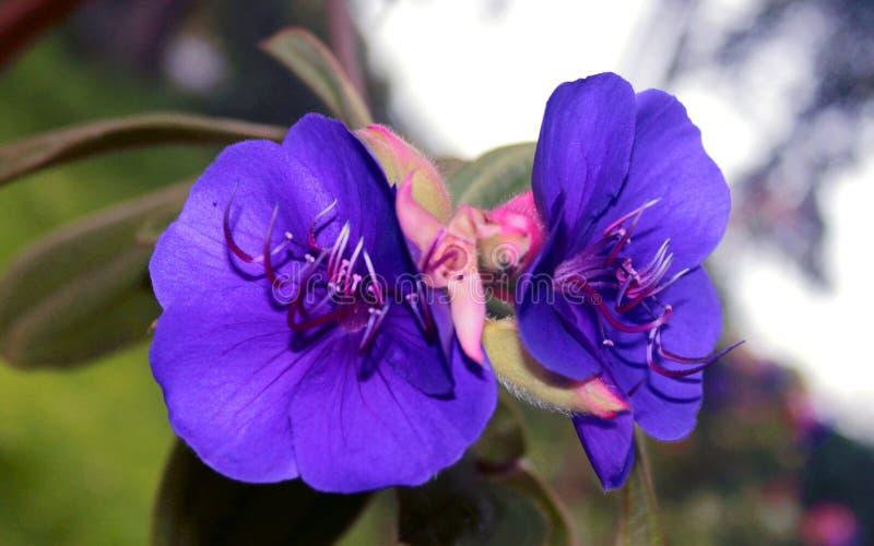Härliga dekorativa blommor i den chettiar kodaikanalen parkerar arkivbilder