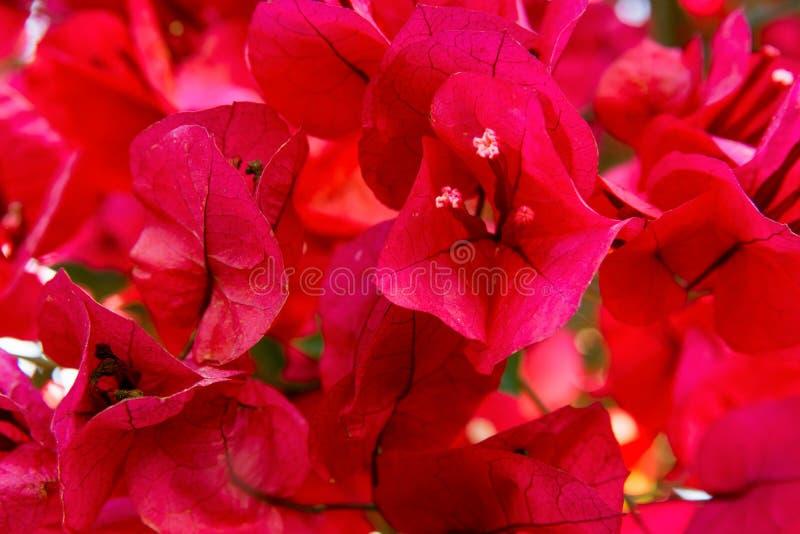 Härliga delikata blommande bougainvilleablommor av den röda karmosinröda magentafärgade rosa färgpaletten i sommarvår Blom- bakgr arkivfoton