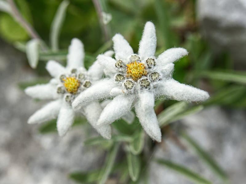härliga edelweiss blommar berg Vetenskapligt namn - Leontopodiumalpinum arkivbild