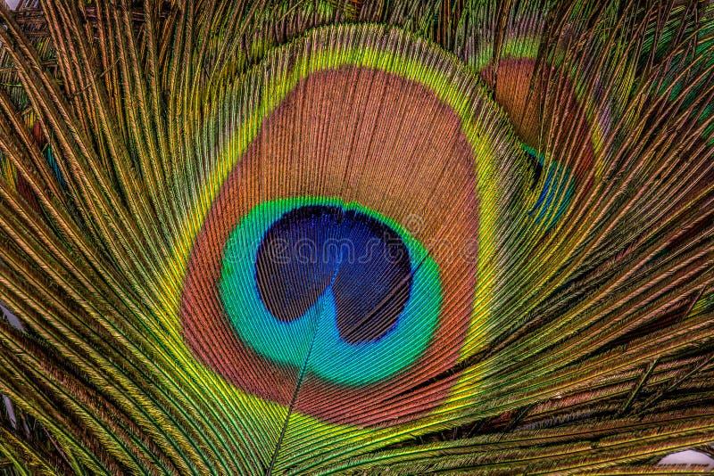 Härliga exotiska påfågelfjädrar som textur close upp fotografering för bildbyråer