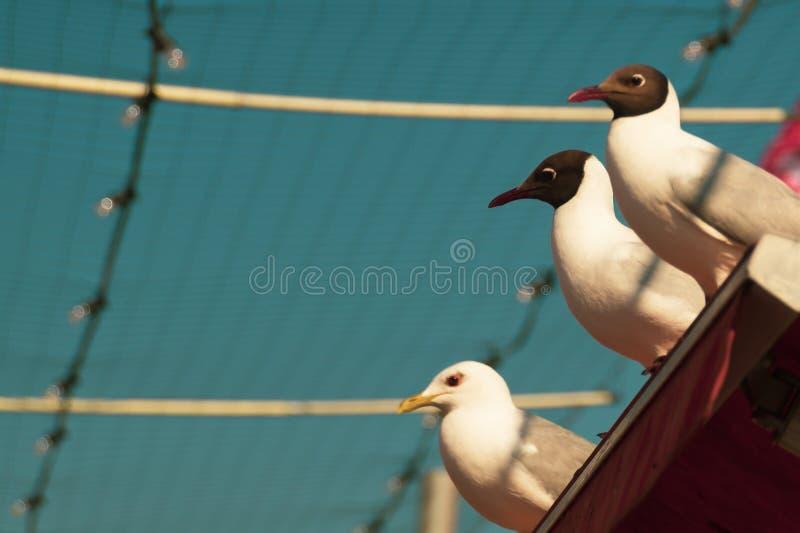 Härliga fåglar stänger sig upp svarta hövdade seagulls som sitter på taket med himmelbakgrunden arkivbild