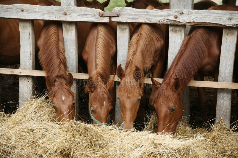 Härliga föl som äter nytt hö på en lantlig plats för hästlantgård royaltyfri fotografi