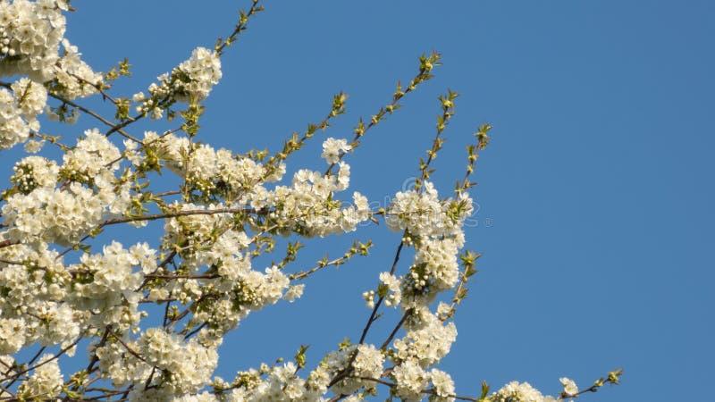 Härliga filialer för körsbärsrött träd med blomningar på våren arkivfoto