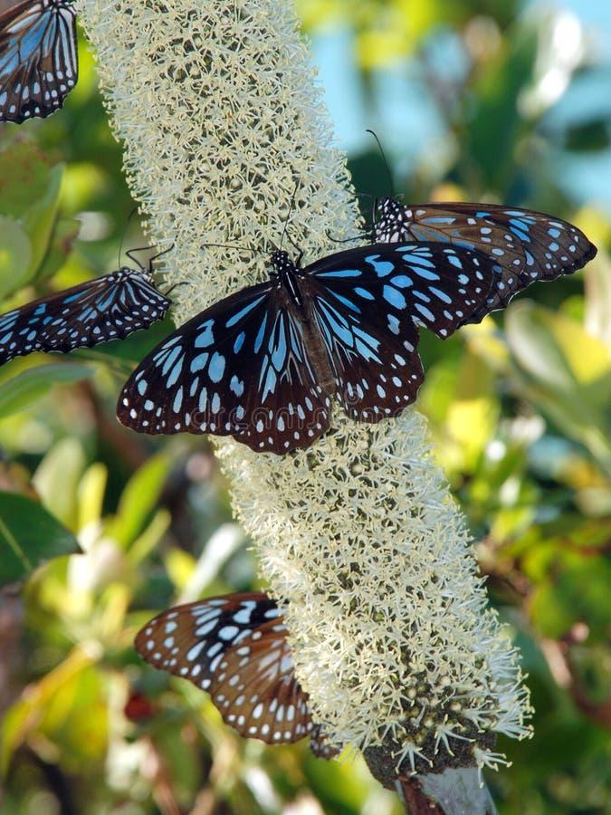 Härliga fjärilar, blå tiger (den Tirumala hamataen) royaltyfri fotografi