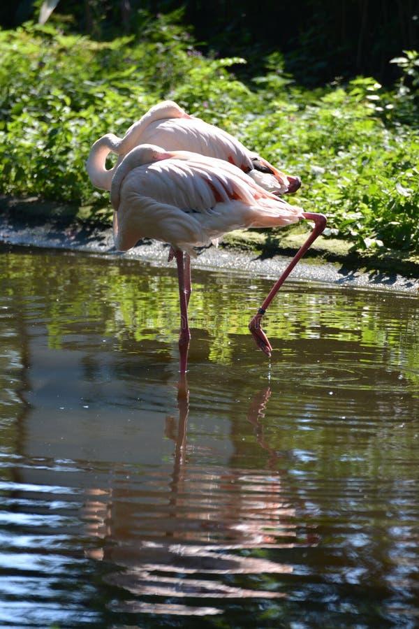 Härliga flamingo dolde deras näbb under deras vingar arkivbild