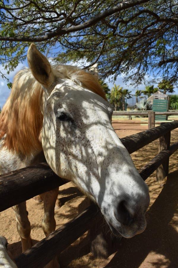 Härliga Fleabitten Gray Draft Horse med fläckigt solljus arkivbilder